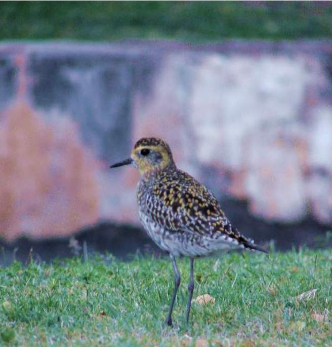 Golden Plover by Forest & Kim Starr