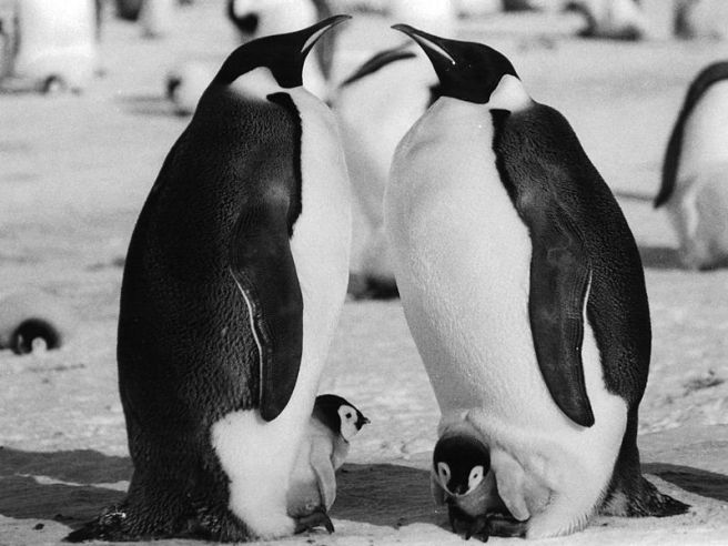 Emperor_Penguin_Parents_and_Chick Mtpaley