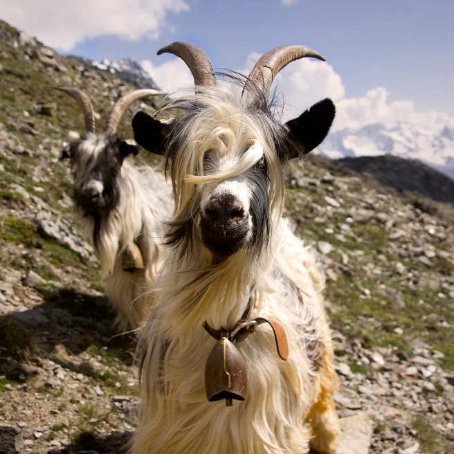 Swiss_goats_with_bells_close-up