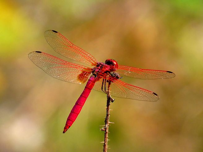 Red Dragonfly Debbie Hall photo by Jeevan Jose