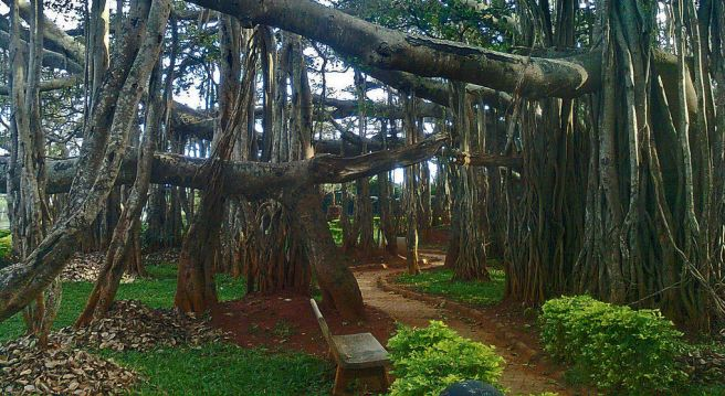 1024px-Big_Banyan_Tree_at_Bangalore by Kiran Gopi