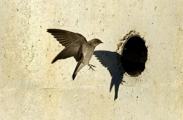 01.swallows.0323.mg