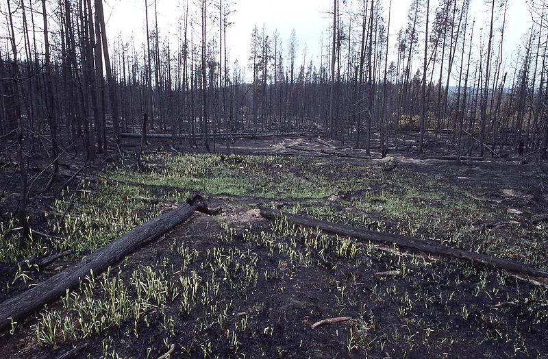 800px-Grass_growing_after_fire