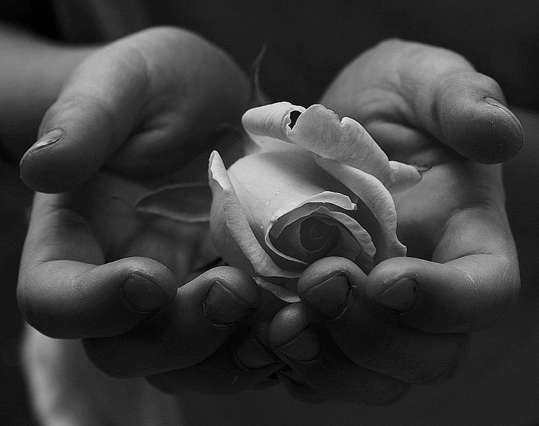 759px-Child's_Hands_Holding_White_Rose_for_Peace_Free_Creative_Commons_(1535619818)