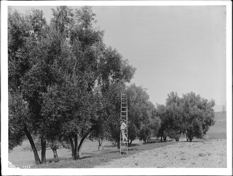792px-Worker_standing_on_a_ladder_leaned_against_one_of_the_dozen_or_so_trees_in_an_olive_orchard,_El_Toro,_California,_ca.1900_(CHS-1352)