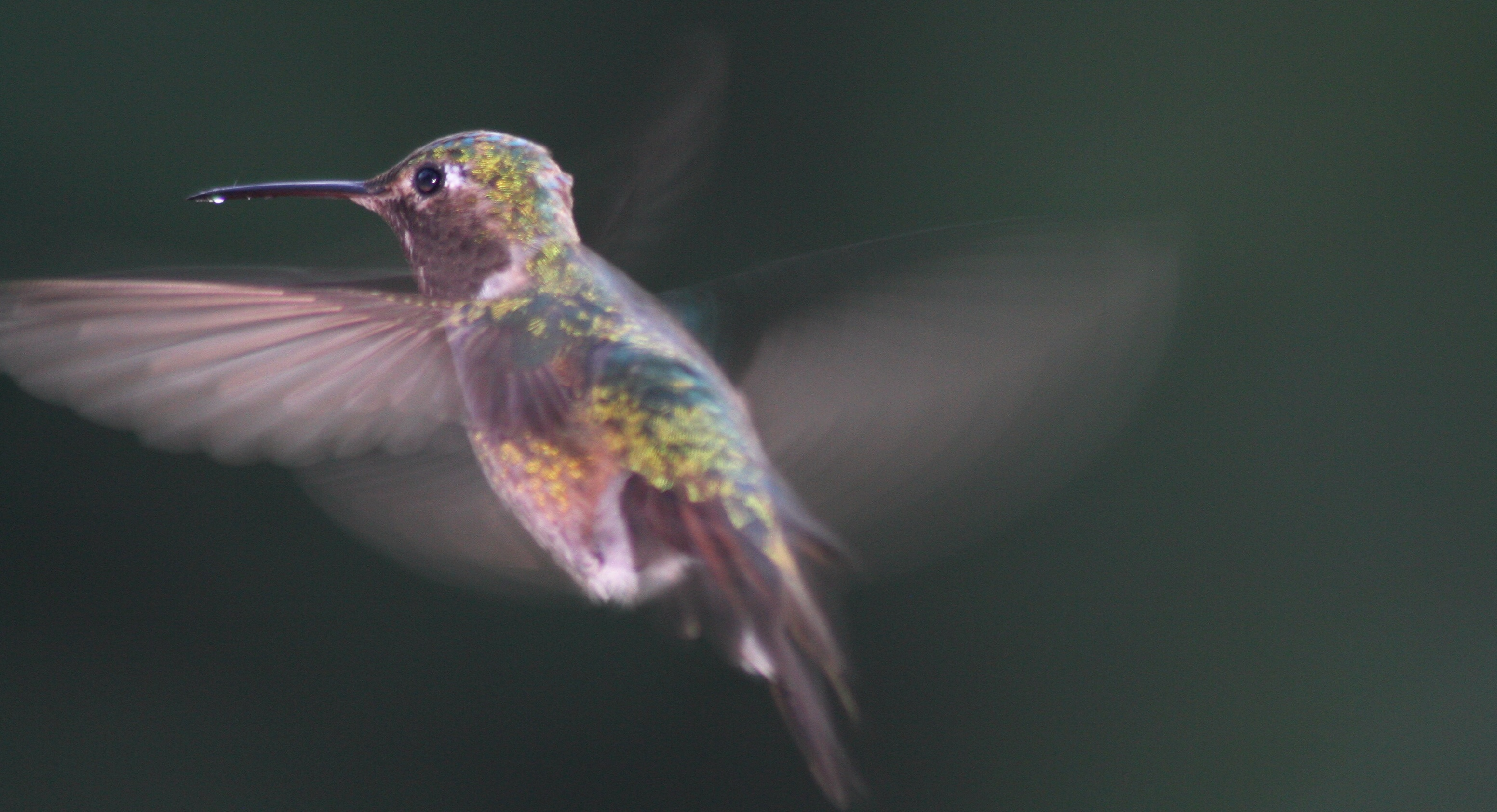 Broad-tailed_Hummingbird_male,_in_flight;_Selasphorus_platycercus
