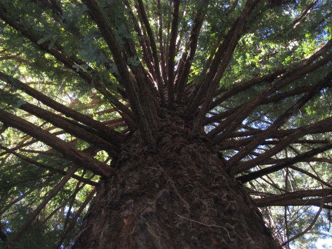 1280px-GIANT_REDWOOD