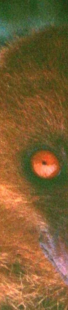 1977-1.05.03_Fijian_Monkey-faced_Bat_,Taveuni,_Fiji_3443_ccccr