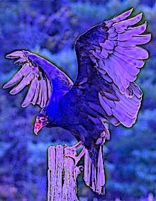 220px-Eastern_Turkey_Vulture_(Canada)