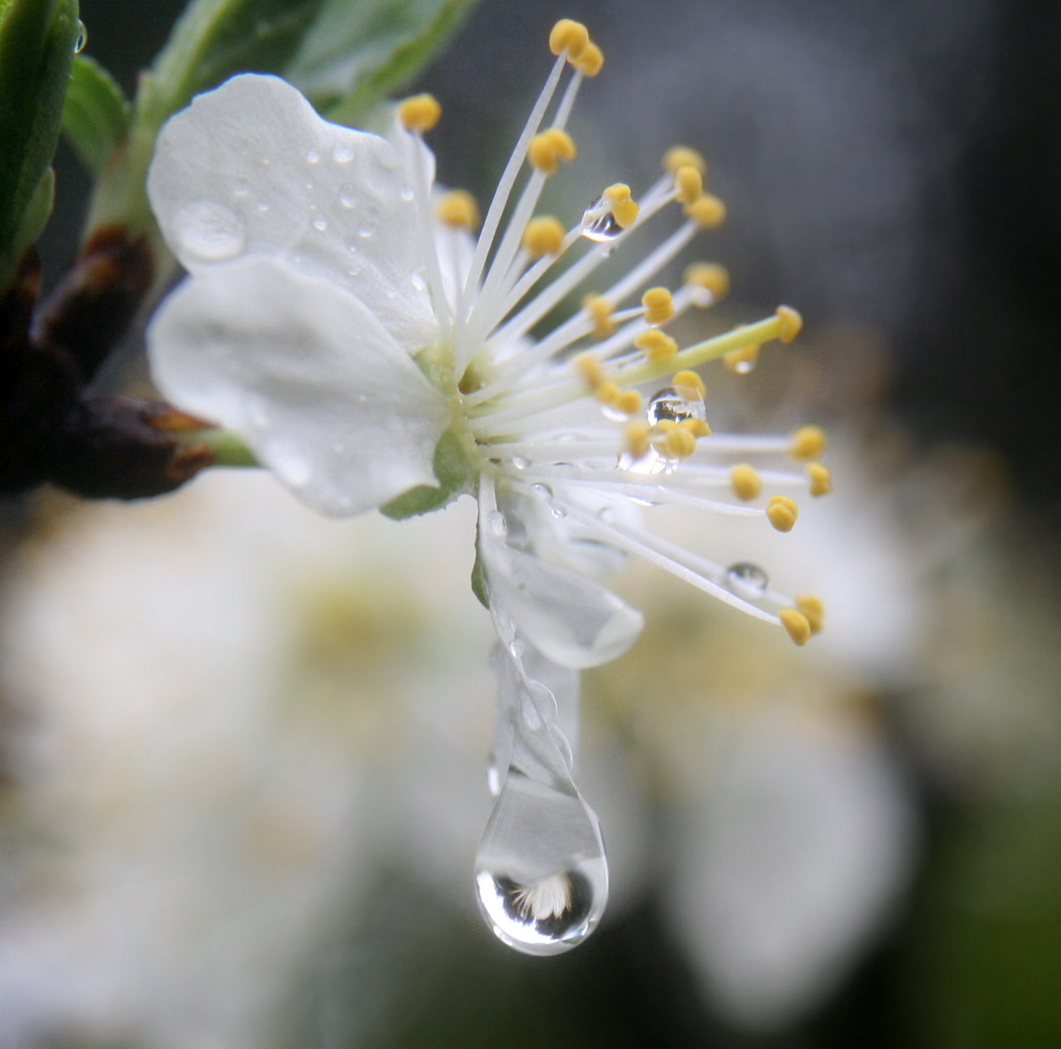 A_flower_refracted_in_rain_droplets