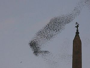 Flock_of_birds_at_Rome.ogv